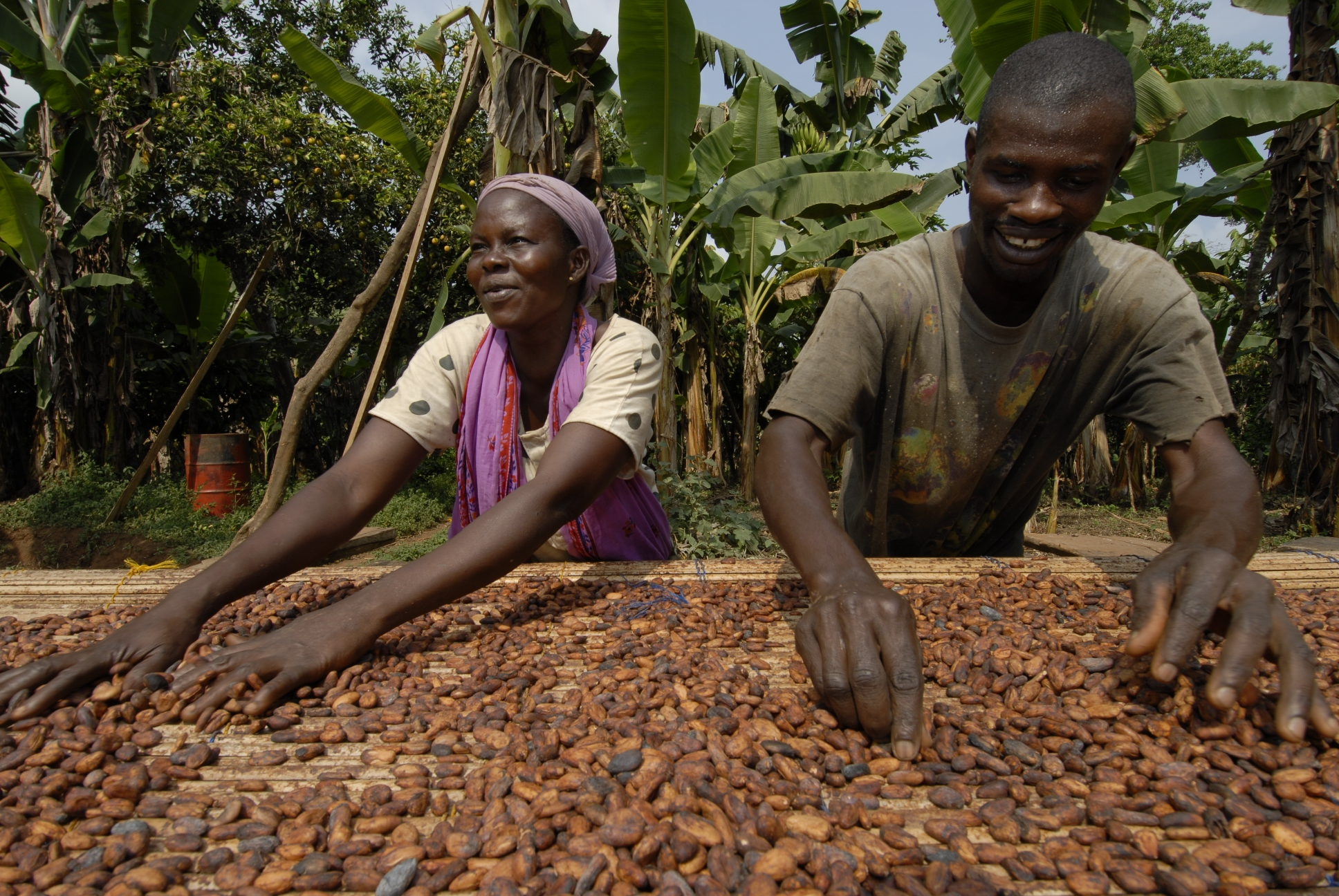 Cocoa Beans Being Sun Dried in Ghana